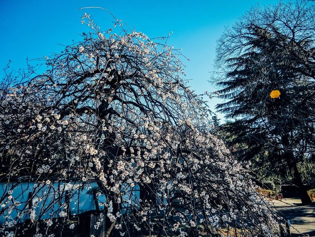 Japan Lovers ◀👘🍣⛩🎑🍱🇯🇵 Tree Clear Sky Branch Flower No People Outdoors Low Angle View Sky Snow Cold Temperature Day Plum Blossom Yeah Springtime! Enjoying Life Nature Landscapes Naturelovers Freshness Street Photography EyeEm Best Shots EyeEm Nature Lover EyeEm Gallery