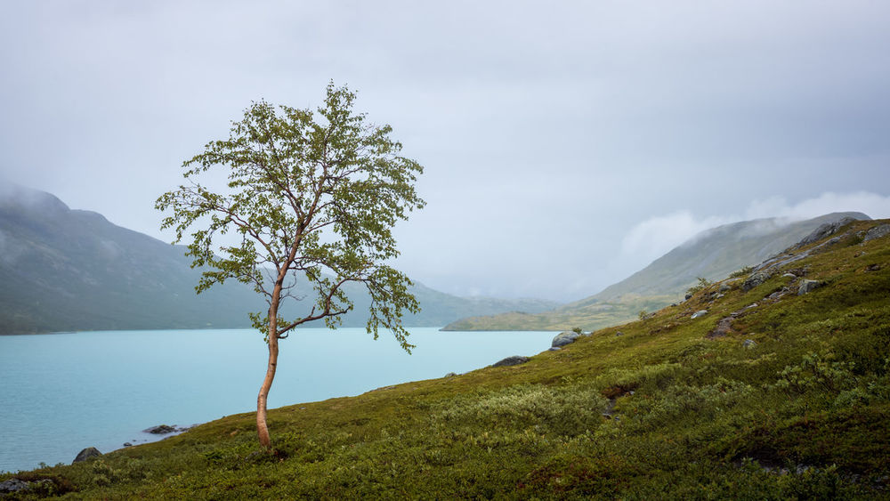 Small birch near a mountain lake. Gjende, Jorunheimen, Norway. Beauty In Nature Mountain Plant Sky Water Scenics - Nature Tranquility Tranquil Scene Tree Nature No People Day Landscape Environment Non-urban Scene Growth Lake Outdoors Alone Endurance Stamina Optimistic Pround Upright