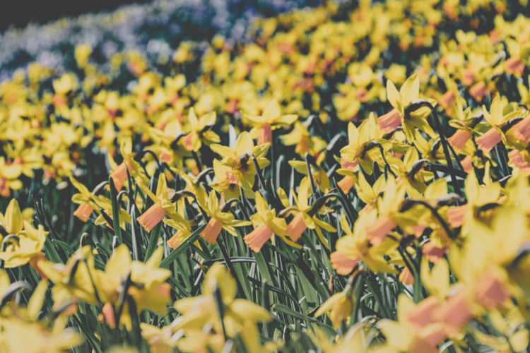 Carpet of gold Full Frame Selected For Premium Spring Bokeh Bokeh Photography Bokehlicious Retro Daffodil Flower Head Flower Yellow Flowerbed Leaf Summer Poppy Field Uncultivated Black-eyed Susan Flowering Plant Countryside Plant Life Botany Focus Horticulture