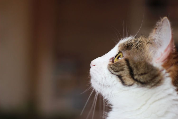 Animal Eye Animal Head  Animal Themes Cat Close-up Domestic Cat Focus On Foreground Looking Away Pets Portrait Selective Focus