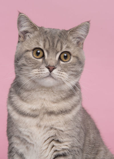 Close-up portrait of cat against gray background