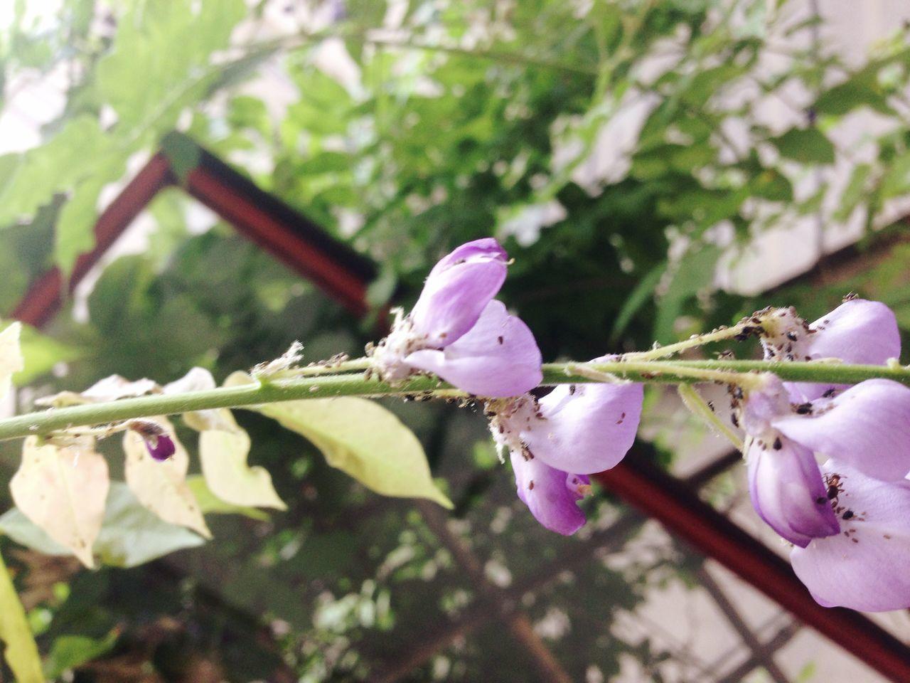 Close-Up Of Purple Wisteria Plant