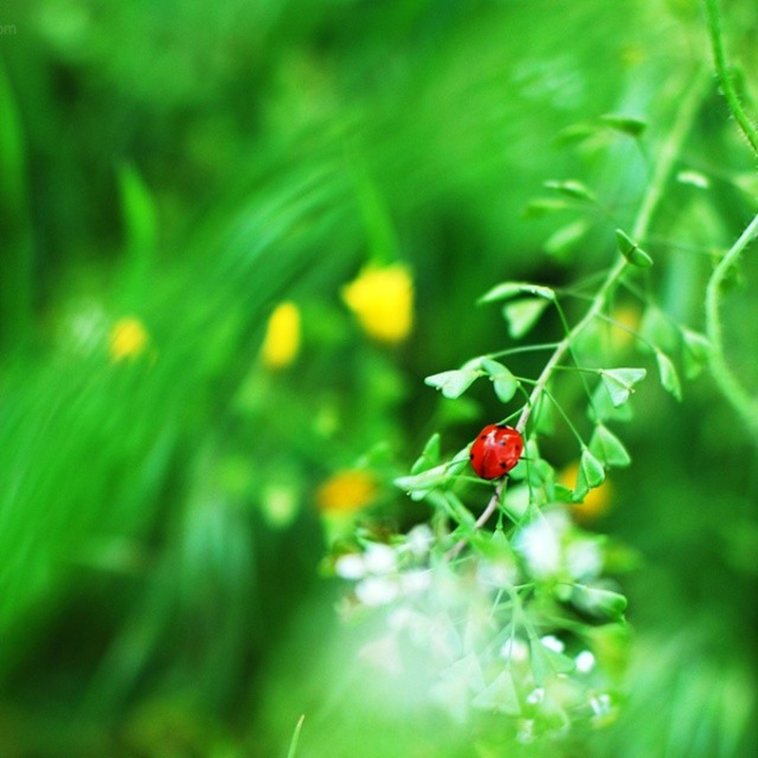 growth, red, green color, freshness, plant, leaf, fruit, close-up, food and drink, nature, focus on foreground, selective focus, beauty in nature, growing, healthy eating, food, berry fruit, berry, stem, field