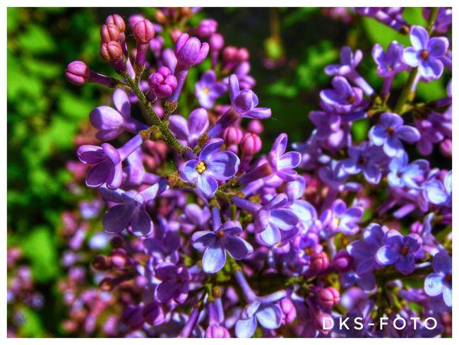 Syren Sweden The True Story Summer Exploratorium Flower Flower Head Purple Tree Close-up Plant Blooming Pollen