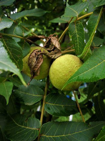 Walnuts Tree Outside Summer