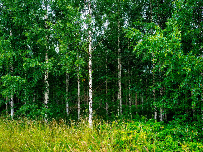 Green Plant Beauty In Nature Bird Birkenwald Day Forest Grass Land Nature No People No Poeple Outdoors Plant Summer Tree Wald WoodLand