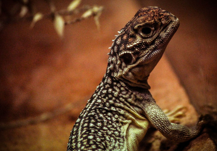 Animal Themes Animal Wildlife Animals In The Wild Bearded Dragon Close-up Day Focus On Foreground Iguana Indoors  Lizard Nature No People One Animal Reptile