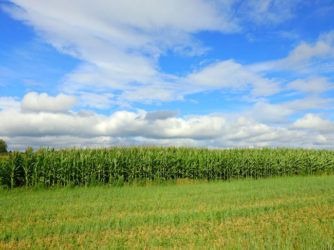 Agriculture Beauty In Nature Cloud - Sky Crop  Day Environment Field Grass Green Color Growth Land Landscape Nature No People Outdoors Plant Plantation Rural Scene Scenics - Nature Sky Tranquil Scene Tranquility