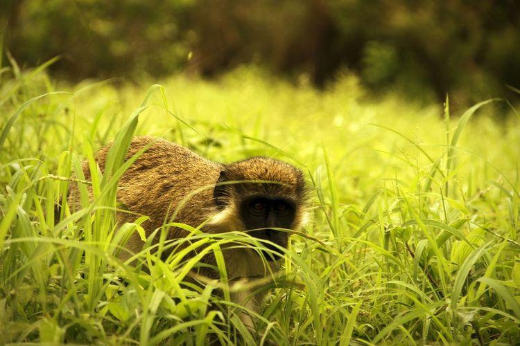 Monkey On Grassy Field