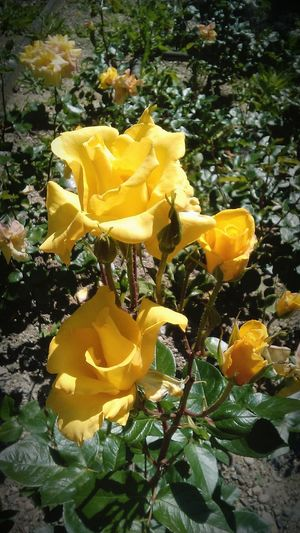 Feliz cumpleanos amiga !!! Yellowroses Enjoying Life Inthecity  Symbole De Joie Et D'amitié Foryourbirthdayfriend Hey✌ Nath ... J't'ai Tagué Sur Eyeem :) Photooftheday Nature_collection Springtime