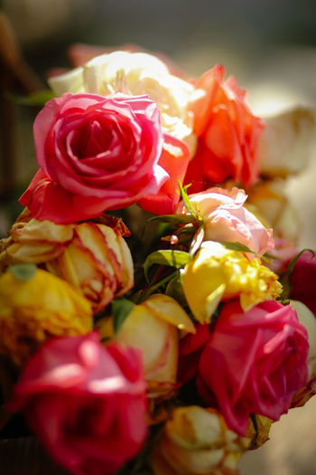 Close up colorfully roses Flower Flowering Plant Rosé Close-up Freshness Beauty In Nature Plant Red Indoors  Nature Rose - Flower No People Selective Focus Colorfully Valentine