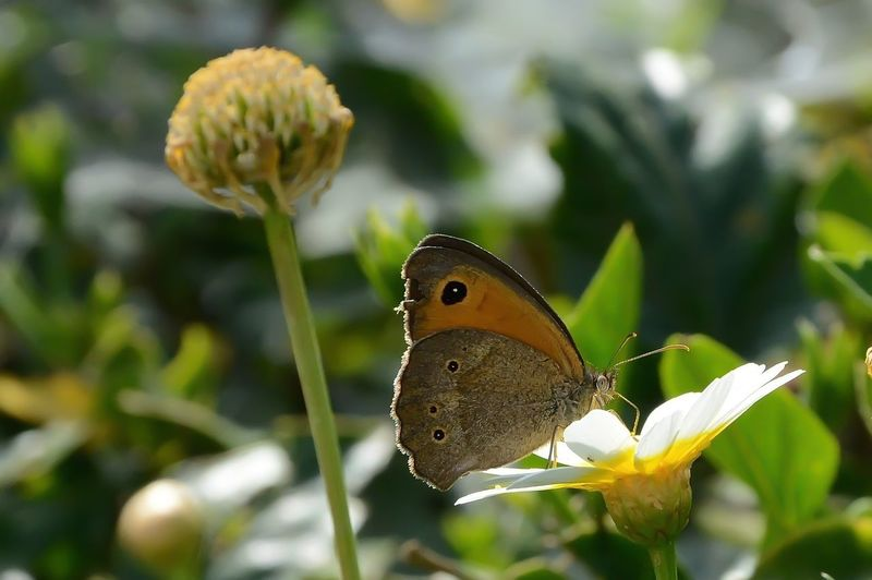 Animal Animal Themes Animal Wildlife Animal Wing Animals In The Wild Beauty In Nature Butterfly - Insect Close-up Day Flower Flower Head Fragility Insect Nature One Animal Outdoors Plant