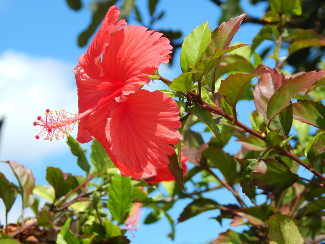Beauty In Nature Blooming Close-up Day Flower Flower Head Fragility Freshness Growth Hibiscus Leaf Nature No People Outdoors Periwinkle Petal Petunia Plant Red Sky Springtime