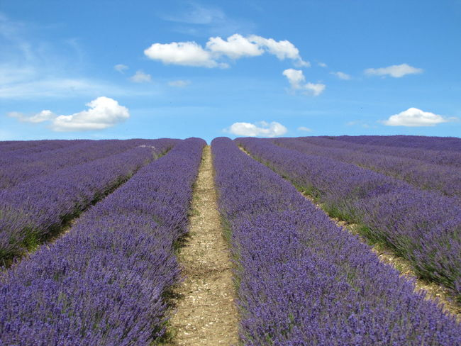 Agriculture Beauty In Nature Cloud - Sky Day Farm Field Growth Landscape Lavender Colored Nature No People Outdoors Purple Rural Scene Scenics Sky Tranquil Scene Tranquility
