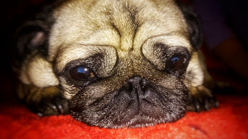 Pug lonely day One Animal Pets Dog Animal Eye Puppy Looking At Camera Pug Pug Life  Animal Themes Animal Animal Head  Pugs Lonly