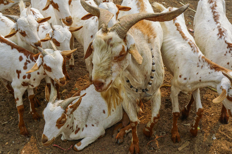High angle view of goats on ground