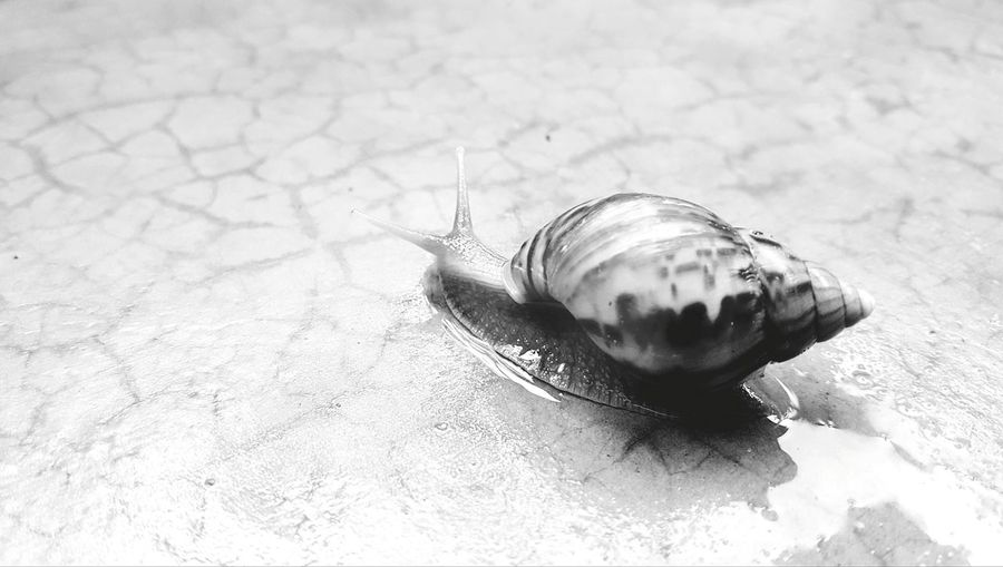 Slow and steady. Mr Snail.Monochrome Photography Animal Themes Close-up Animal Shell Slow Invertebrate No People