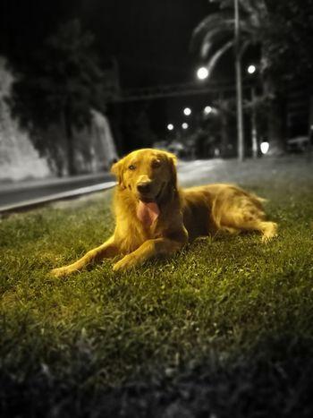 43 Golden Moments Goldenretriever Gold Retriever Golden Retriever Dog❤ Dog Love Dogs Of EyeEm Dogstagram Goldenretrieversofinstagram Goldenretrievers Goldenretrieverlove