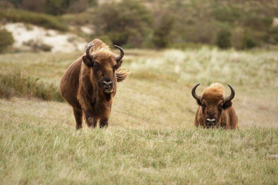 Wisent European  Bison Mammal Animal Themes Animal Field Land Group Of Animals Grass Animal Wildlife Horned