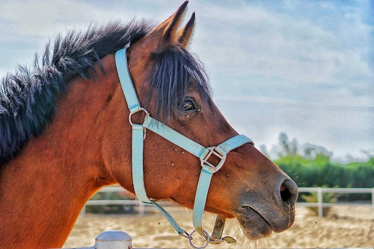 Horse Clouds حصن الكويت حصان Kuwait Domestic Animals Horse One Animal Animal Themes Mammal Bridle Animal Head  Animal Body Part Outdoors Sky Close-up Brown No People Animal Day Livestock Nature