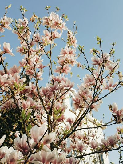 Nature Growth Beauty In Nature Low Angle View Flower Tree Blossom No People Freshness Springtime Pink Color Branch Sky Fragility Flower Head Magnolia Magnolia Tree Millennial Pink