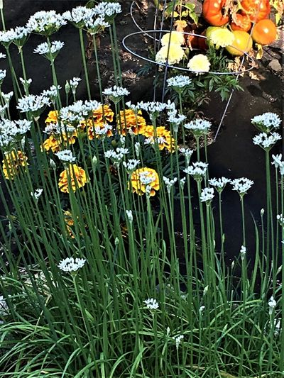 Herbs Blooming Day Flower Flower Head Garden Garlic Chives Marigolds Nature Nature's Line No People Outdoors Plant Summer Tomatoes Yellow