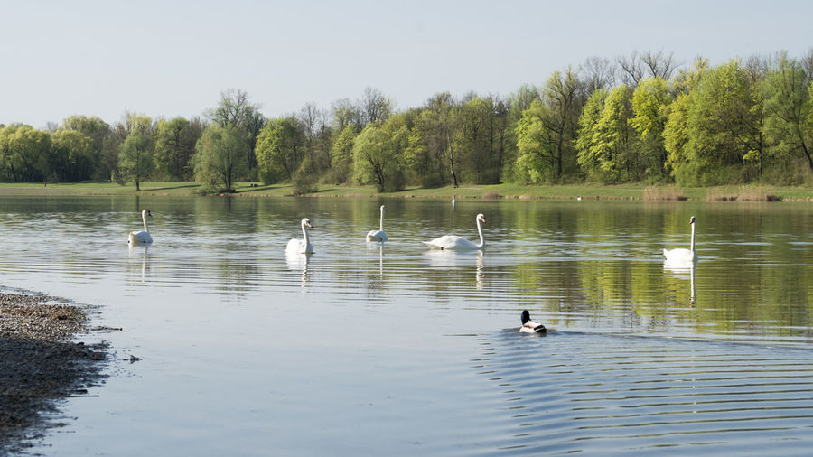 Swans on the