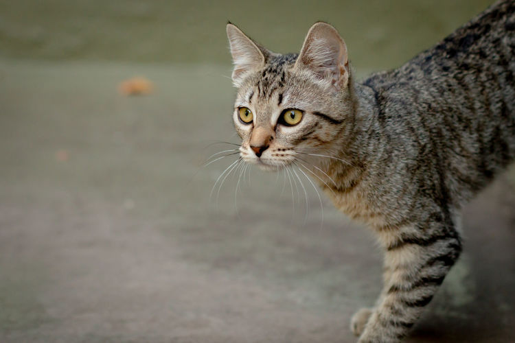 Cat Cats Feline