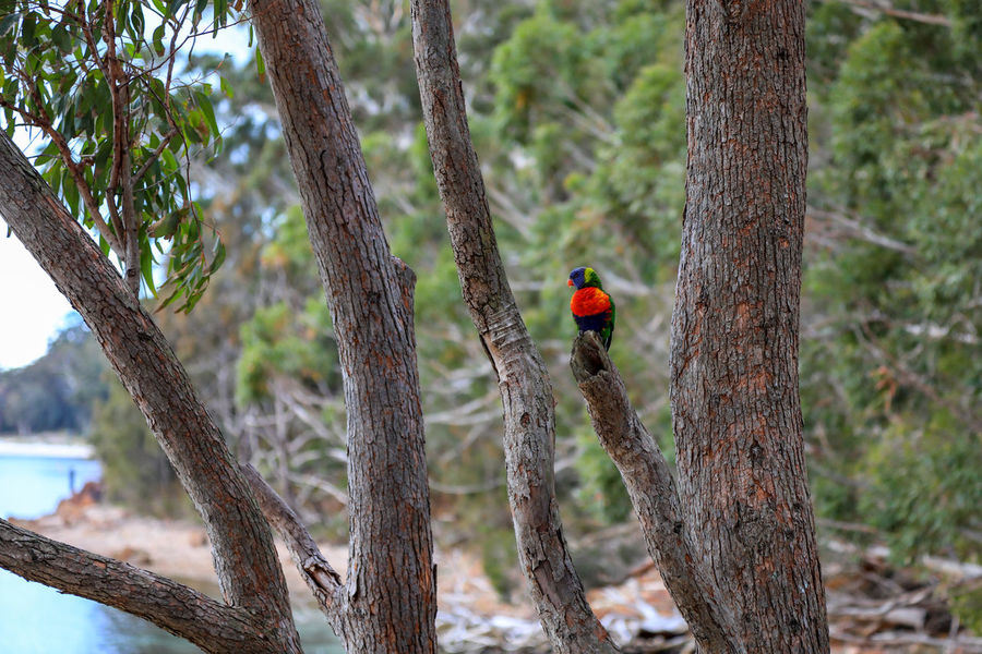 Wild Lorikeet Australia Colourful Green Port Stephens Red Travel Animal Themes Animals In The Wild Bird Day Lorikeet Nature No People One Animal Outdoors Park Parrot Parrot Lover Perching Tree Tree Trunk