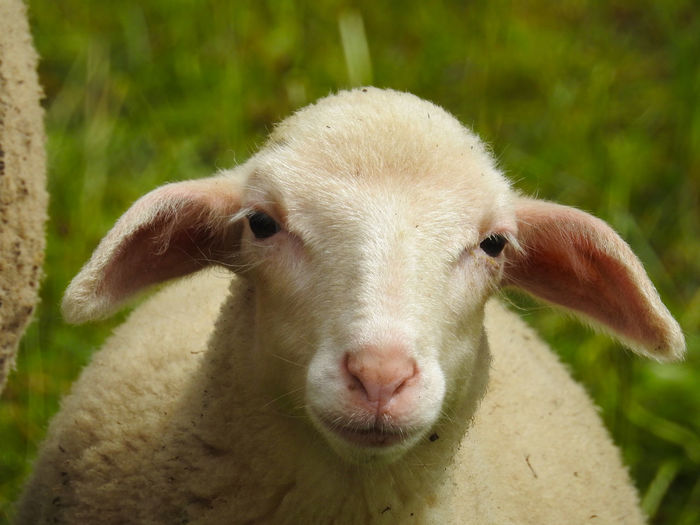 Sheep is looking at the camera Animal Themes Close-up Day Domestic Animals Domesticated Animal Tag Focus On Foreground Lamb Livestock Livestock Looking At Camera Mammal Nature No People One Animal Outdoors Portrait Shear Sheep Wool Young Animal