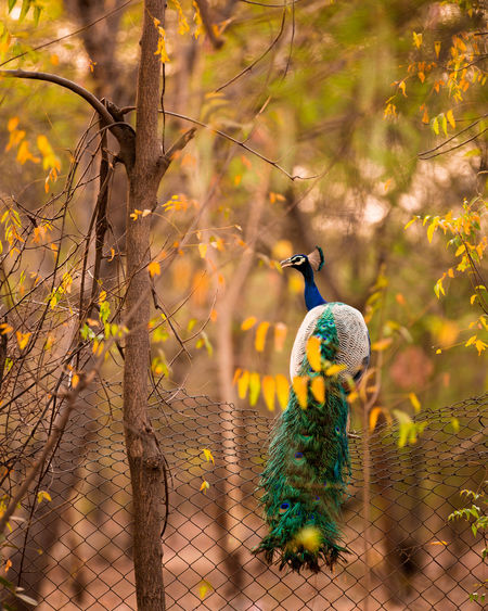Peacock In Forest, Evening Light Landscape_Collection Nature Nature_collection Nature Photography Naturelovers Naturephotography Peacock Peacock Colors Evening Light Evening View Forest Photography Forest Forest Trees India Beautiful Nature Beauty In Nature Moody Moodygrams Popular Photos Landscapes Branch Peacock Multi Colored Perching Autumn Rural Scene Portrait Plant Peacock Feather Tropical Bird My Best Photo The Great Outdoors - 2019 EyeEm Awards