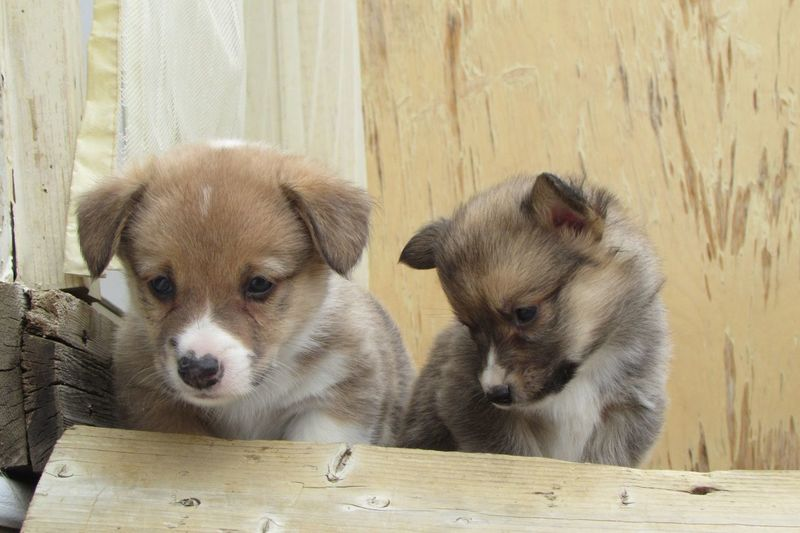 Portrait of corgi puppies