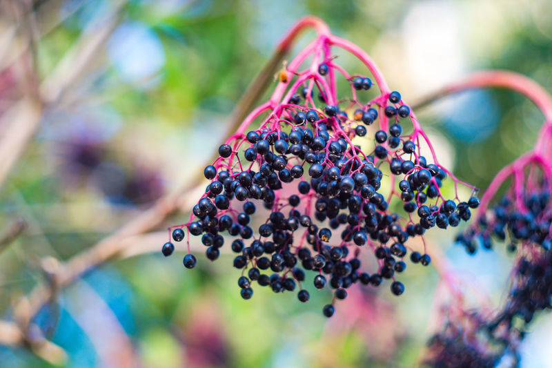 Holunderbeeren Sony Alpha 5000 Helios 44-2 Markersdorf Beauty In Nature Berry Fruit Black Color Blackberry - Fruit Close-up Day Focus On Foreground Fruit Germany Holunder Nature No People Oberlausitz Outdoors Plant Selective Focus