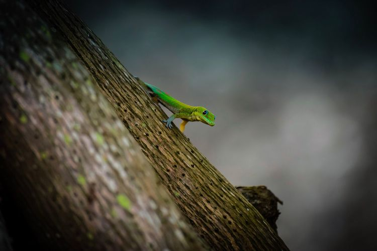 One Animal Animals In The Wild Tree Trunk Animal Wildlife Animal Themes Reptile Wood - Material Green Color Outdoors Day Tree No People Nature Perching Sky Close-up Gecko Oahu, Hawaii