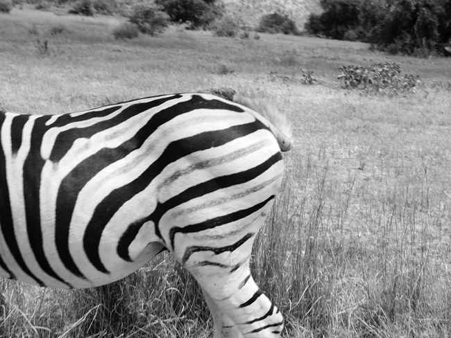Black And White Friday Nationalpark Pilanesberg, with a zebra in front One Animal Striped Zebra Animals In The Wild Animal Themes Grass Field Animal Wildlife Day Outdoors Nature No People Safari Animals EyeEmNewHere Close-up Nature Field Grass Vacations Tourism Travel Destinations Johannesburg South Africa Pilanesberg National Park