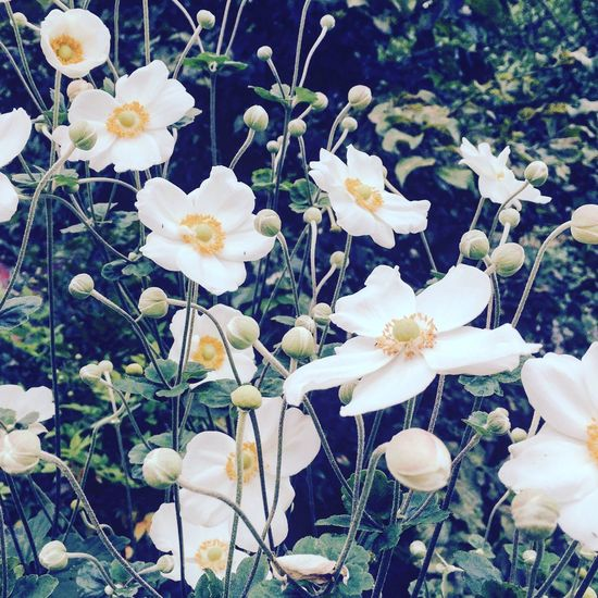 Japanese Anemone Full Bloom Flower Beauty In Nature Plant Nature Blossom IPhoneography Countryside