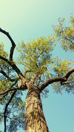 Tree Low Angle View Sky Branch Tree Trunk Nature Blue Day Outdoors No People Growth Beauty In Nature Leaf Tree Area Magical Trees
