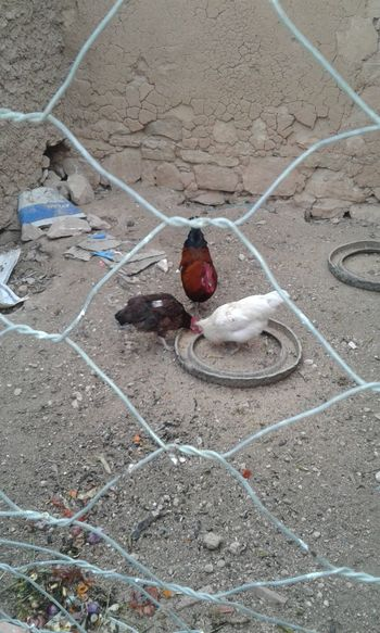 chicken eating EyeEm Selects Moroccan Style Traditional Chicken - Bird Eating Three Lifestyles High Angle View Close-up