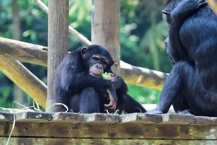 Wildlife and forestry Animal Animal Family Animal Themes Animal Wildlife Animals In The Wild Ape Black Color Care Chimpanzee Day Focus On Foreground Group Of Animals Mammal Monkey Nature No People Primate Sitting Tree Two Animals Vertebrate Young Animal Zoo