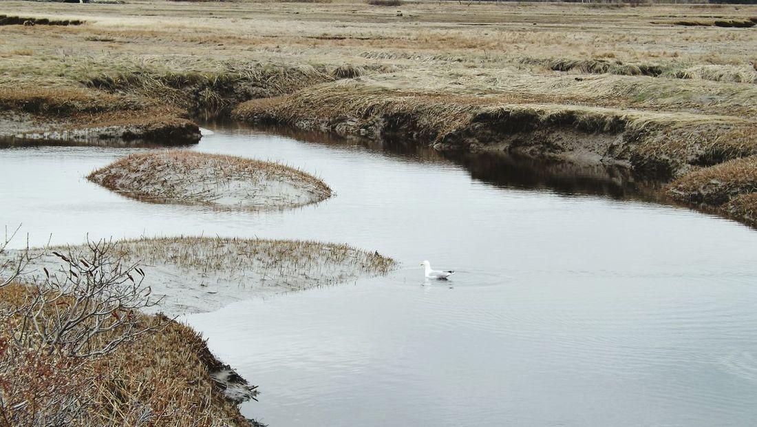 Herringgull Scarborough Marsh Marsh Seagull Fall Season Seagulls And Sea Bird Photography Cloudy Day Brown Grass Dull But Beautiful