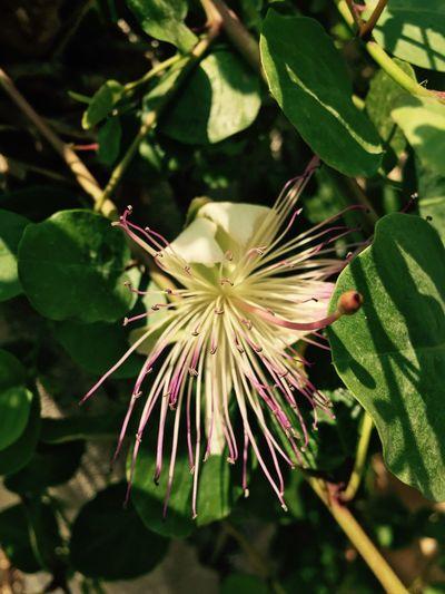 Flowers Capperi Nature