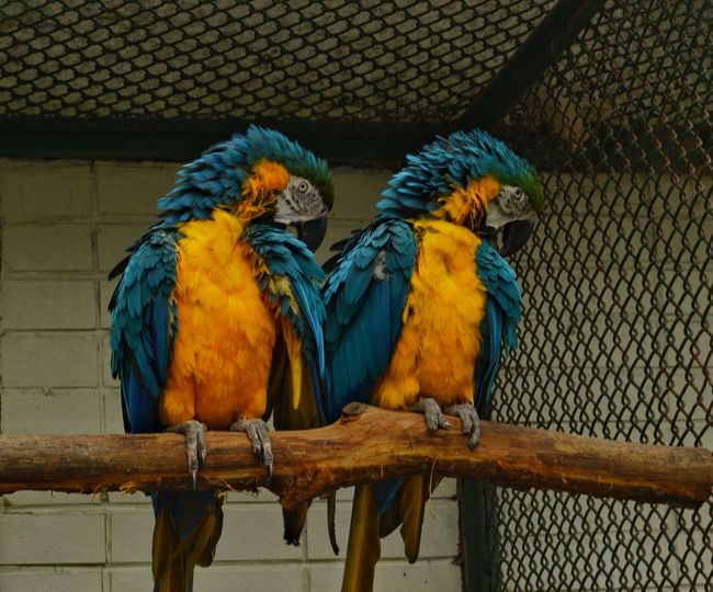 Bird Parrot Macaw Cage Blue Gold And Blue Macaw Animal Themes Perching Scarlet Macaw Animals In Captivity One Animal Animal Wildlife No People Outdoors Day Multi Colored Close-up Nature