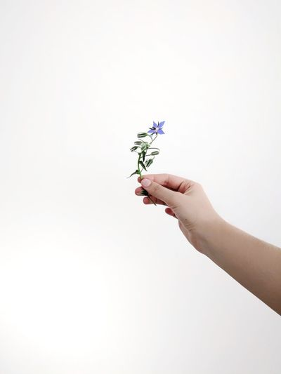 tiny flower. present. Copy Space White Background Plants And Flowers Gesture Holding A Flower Happy Birthday! Happy Mother's Day! Thank You Summer Time  Summertime Summer Flowers Flowerporn Flowerpower Blue Flower Tiny Flower Cute For You With Love Take It Giving Love is in the air Human Hand Flower Studio Shot Holding Body Part Sky Close-up Finger Human Finger