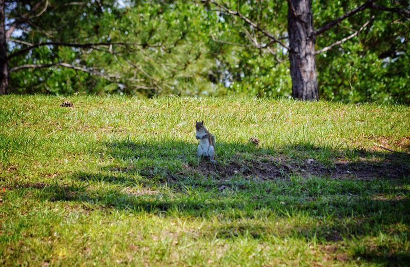 Nice Pose by this Little guy Squirrel One Animal Animal Themes Nature Animals In The Wild Tree Grass Green Color Field No People Outdoors Park