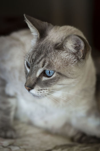 Portrait of white cat with blue eyes Beautiful Animals  Blue Eyes Pensive Animal Animal Eye Animal Head  Animal Themes Cat Close-up Domestic Domestic Animals Domestic Cat Ears Eye Feline Indoors  Looking Looking Away Mammal No People One Animal Pets Portrait Selective Focus Whisker