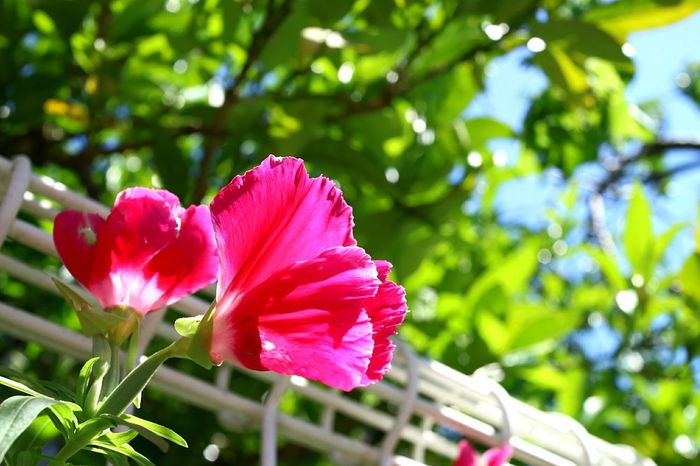 Flower Nature Pink Color Plant Petal Close-up Flower Head No People Leaf Day Tree Outdoors Beauty In Nature Growth Freshness Fragility Hibiscus