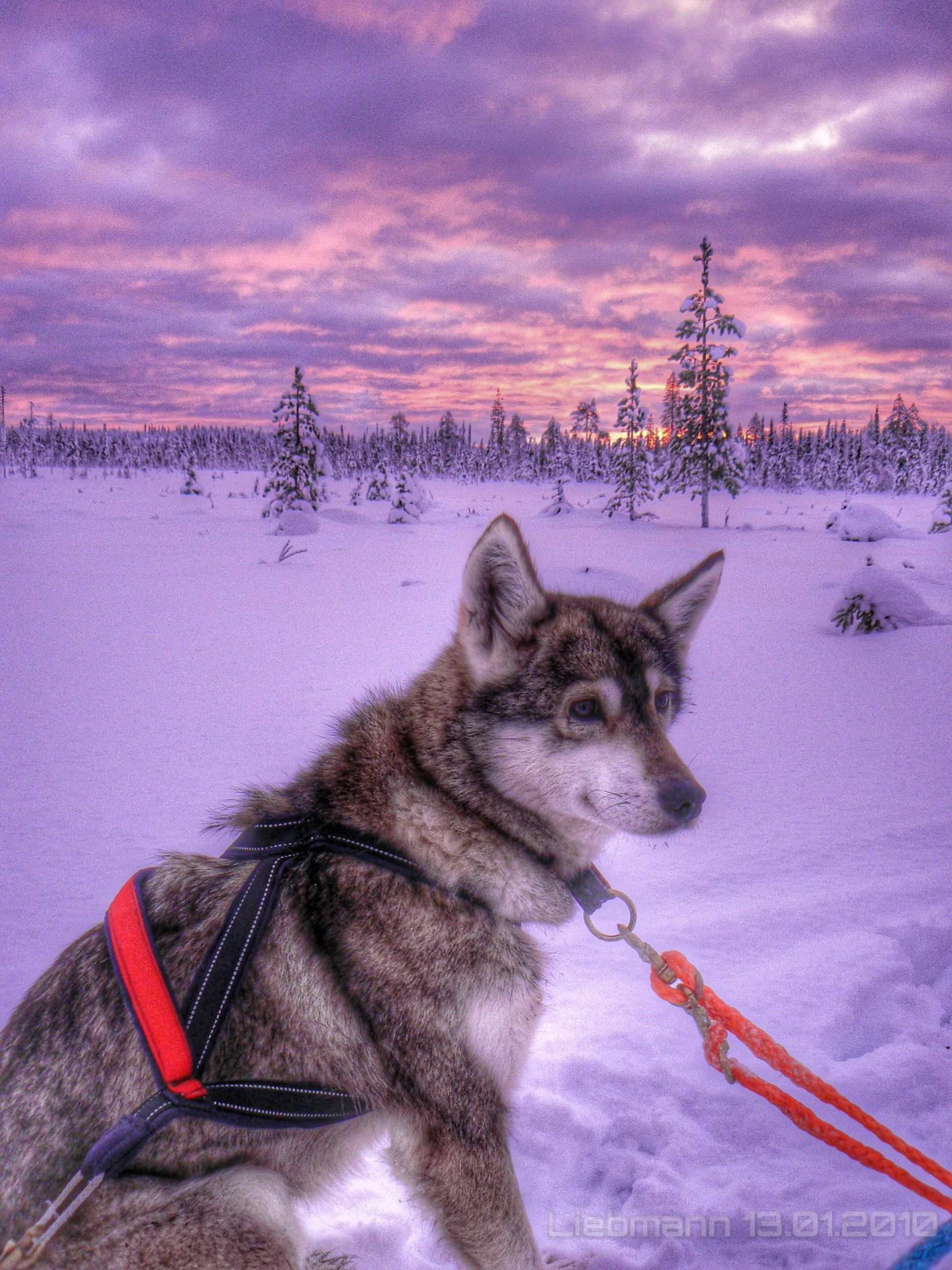 snow, cold temperature, winter, season, weather, domestic animals, pets, mammal, sky, covering, animal themes, one animal, cloud - sky, dog, frozen, field, nature, landscape, bare tree, covered