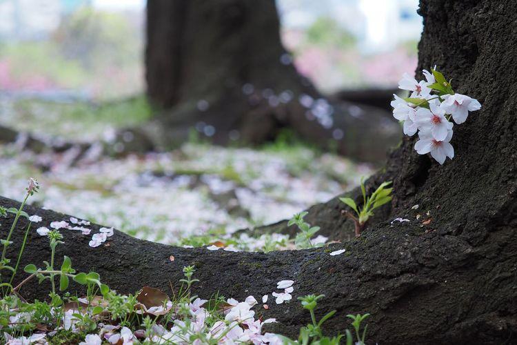 そして Flower Nature Growth Fragility Plant Freshness Beauty In Nature Outdoors Close-up Leaf Day Tree Flower Head EyeEm Nature Lover EyeEm Best Shots EyeEmNewHere Springtime Cherry Blossoms Cherry Tree 桜 ソメイヨシノ Olympus OM-D EM-1 散る。心ん中に