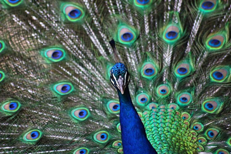 Full frame shot of peacock dancing