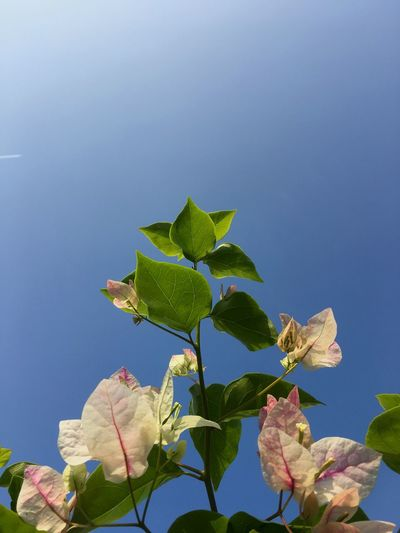 Bougainvillea and blue sky Flower Leaf Growth Beauty In Nature Nature Day Flower Fragility Low Angle View Freshness No People Outdoors Blue Sky Clear Sky Close-up Plant Green Color
